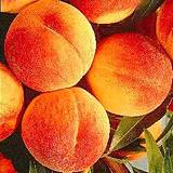 fresh peaches still on the tree