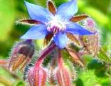 blue edible flower borage