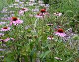 photo of a field of echinacea well known for boosting immune system