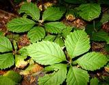 photo of a American ginseng growing in herb garden leaves makes an important medicinal tea