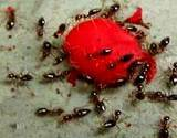 photo of a group of ants eating watermelon