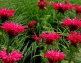 photo of bee balm with bright red blooms growing makes a healthful medicinal tea