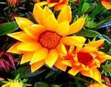 A garden full of edible flower calendula