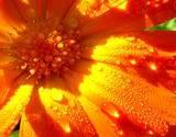 edible flower calendula closeup of dew drops on petals