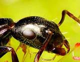 photo of a close-up of a carpenter ant