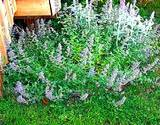 photo of a healthy catnip bush growing in an herbal garden