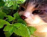 photo of a cat sniffing an organic catnip plant
