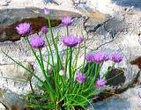 chives growning wild between rocks