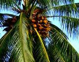view of a coconut tree home remedy for chronic diarrhea