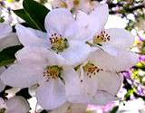Clusters of white Apple Blossoms edible flowers