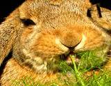 photo of a big brown rabbit munching on fennel