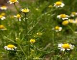 photo of a field of German chamomile makes the best medicinal chamomile tea