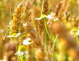 field of camomile and wheat headache remedies