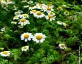 feverfew is a wonderful herb for headaches