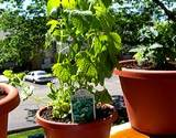 photo of a potted lemon-balm plant sitting on a deck