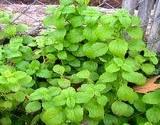 lemonmint for herb garden
