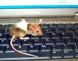 photo of a mouse walking across a computer keyboard