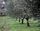 photo of an olive grove