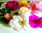 A variety of selected roses laying on a table