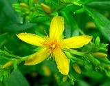 photo of a closeup of a St. John's Wort flower growing in a garden