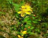photo of a St. John's Wort plant in a garden