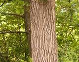 photo of a White Oak Bark Tree a natural remedy for the inflammation of skin rash