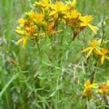 photo of a field of St. John's Wort a natural herbal remedy for chronic fatigue