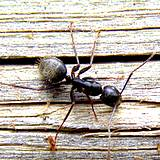 photo of a big black ant sitting on wood siding