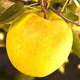 photo of a yummy yellow delicious apple boost the immune system