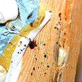 photo of a bed spring infested with bed bugs and eggs