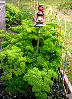 photo of a garden plot with huge parsley plants