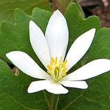 photo of bloodroot blossom a natural herbal remedy for gingivitis