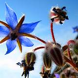 Edible flower borage growing plant