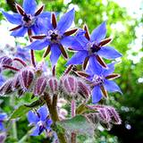 a growing bouquet of edible flower borage