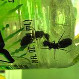 photo of carpenter ants invading a bottle of Gatoraid