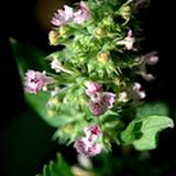 photo of a large catnip bud with blossoms