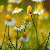 a field of incredible chamomile
