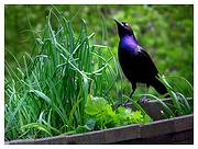 photo of a blackbird sitting on the edge of an herb garden