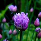 chives growing in garden