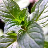 chocolate mint for herb garden