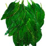 photo of fresh comfrey leaves add to bath and relieves pain of herniated disk