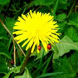 photo of two ladybugs sitting on a wild dandelion blossom perfect plant to make dandelion tea