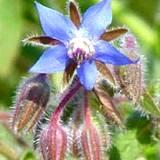 Beautiful blue Borage edible flower
