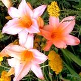 Beautiful pink Daylilly edible flower