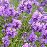 A field of Lavender edible flowers
