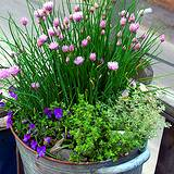 Beautiful edible flower pot with violets, flowering chives and mint