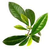 photo of a fresh green tea leaf ready to brew medicinal green tea