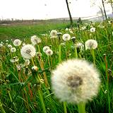 photo of a field of dandelion gone to seed a hay fever sufferer's nightmare