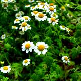 feverfew is one of the headache remedies