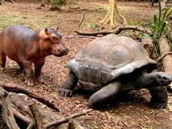 Best friends rhino following tortoise